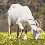 Kecsketej előnyei, kecsketejes szappan recept